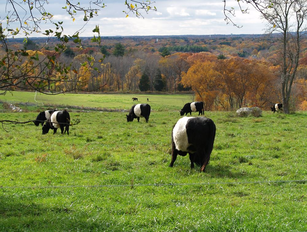 Belted Galloway cows in the pasture 12